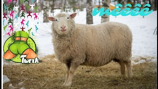 Funny Sheep with people ,funny video 2021