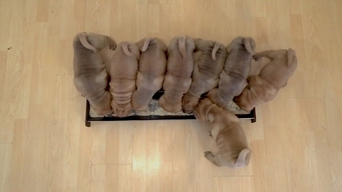 There Is Nothing More Adorable Than This Litter Of Shar Pei Puppies Devouring Their First Breakfast
