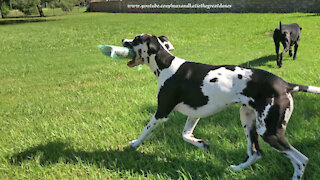 Playful Great Danes Enjoy Newspaper Delivery Fun
