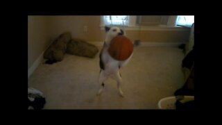 dog plays with basketball