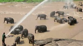 Elephant orphans are spoiled with a hose shower!