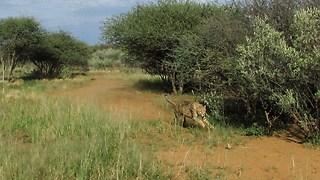 Making rescued cheetahs run!
