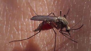 Rainy weather keeping mosquitoes around