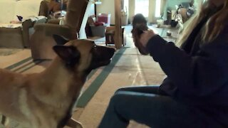 Service dog fetches boots but decides to play with them