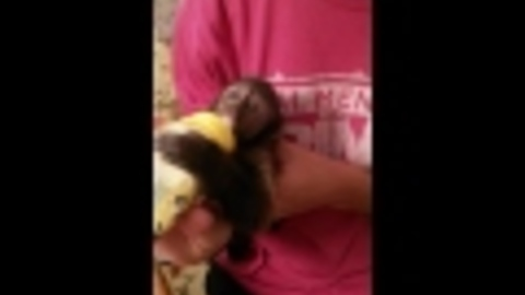 Baby Capuchin Monkey Drinking a Baby Bottle