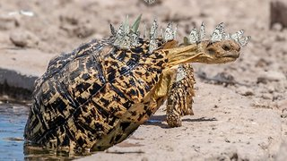 Stegosaurus Turtle – Butterflies Turn Turtle Into Dinosaur After Landing On Back