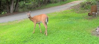 Mother deer without fawn