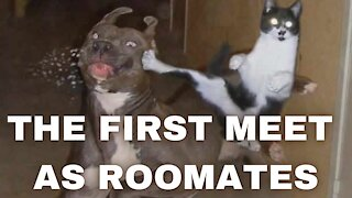 The First Meet Between Dogs and Cats as Roomates