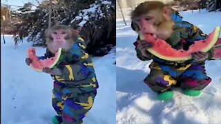 Manky video really amazing | funny monkey | funny and cute