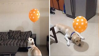 Dozy Labrador Left Confused Trying To Catch Balloon Tied To Collar