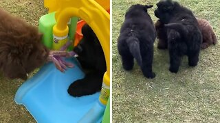Newfie puppies play tug-of-war with their favorite toy