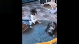 cute cat play together / try not laugh