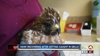 Hawk recovering after getting stuck in grille