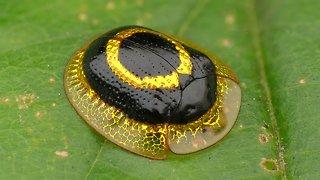 Dazzling golden target tortoise beetle from Ecuador