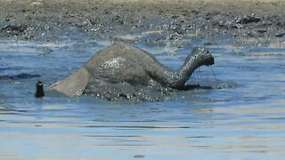 Playful baby elephant excited to dunk its own head under the water