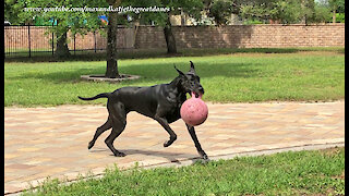 Funny Great Danes Love To Run And Play With Jolly Balls