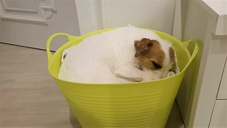 The Jack Russell dog likes to sleep in the laundry basket