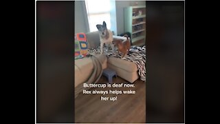Dog always goes to wake up his deaf friend when it's time to potty