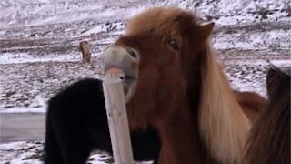 Horse nibbles on wooden pole in hilarious scene