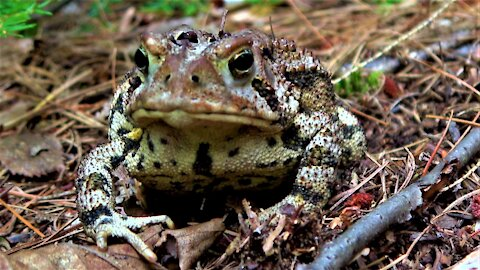 Cottage toad carries out crucial role in the ecosystem