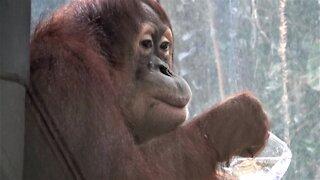 Orangutan drinks water from glass like a human