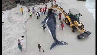 Strandet hval blir reddet på strand i Brasil