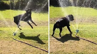 Rottweiler just loves to play with the sprinkler