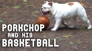 Bulldog can't stop dribbling his basketball at the dog park