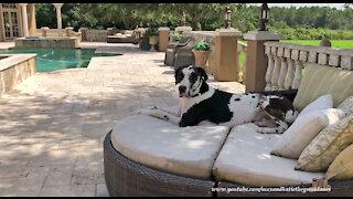 Harlequin Great Dane Enjoys Dog Days Of Summer In Florida
