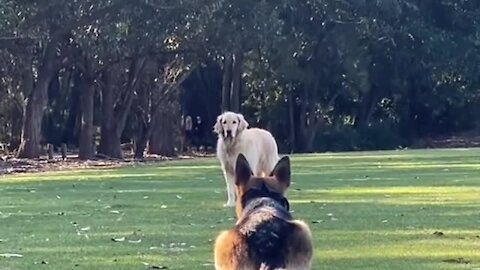 Long time doggy friends keep each meeting entertaining