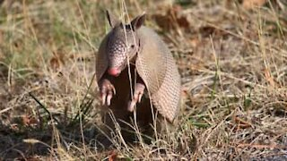Playful armadillo won't leave his friend alone!