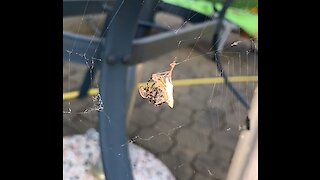 Spider and its prey in slowmotion
