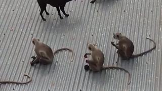 Friendly Stray Dog Tries To Play With Monkey Tribe