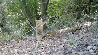 Extremely rare wild cat caught on video as animals parade in front of camera