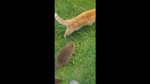 Adorable Beavers Following Their Cat Friend Around