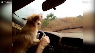 Kjørende hund hater vindusviskere