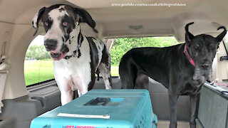 Happy Cat And Great Danes Enjoy A Burger And A Frosty Treat
