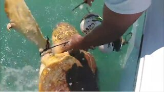 Giant Sea Turtle rescued After Being Trapped
