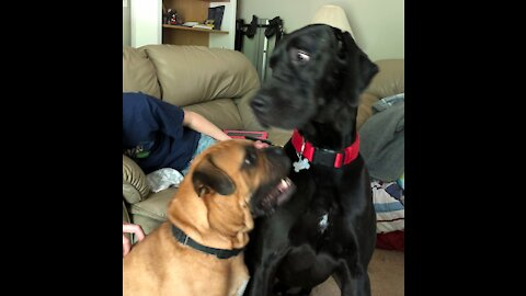 Boxer Training Confusion