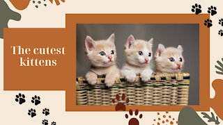 The Top 03 Cutest Kittens in the World