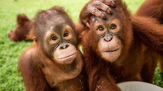 Ultimate bromance! Rescue orangutans cuddle up and play together in adorable footage