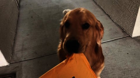 Golden Retriever enthusiastically delivers Amazon package
