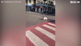 Un chien joue l'agent municipal