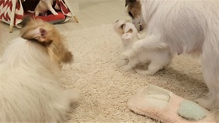 Jack Russell Mom Prevents Puppy From Going Into Trouble