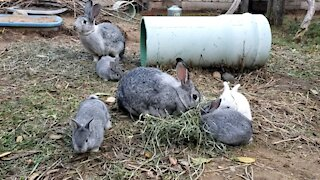 Baby bunnies eat hay with Momma