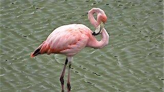 Beautiful pink flamingo eats shrimp in the Galapagos Islands