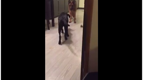 Dog Attempts To Sneak Up On German Shepherd In Plain Sight
