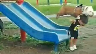 Dog does not wait his turn on the slide!