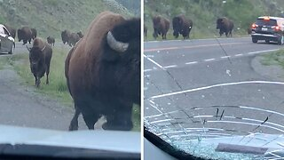 Bison Stampede Crushes Rental Car With Family Inside It
