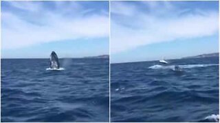 Whales perform majestic spectacle